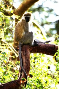 A vervet monkey thinking how to possibly steal a roasted corn and run back to his tree