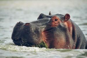 A Naivashian Hippo