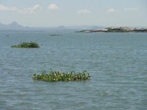 water hyacinth on the surface